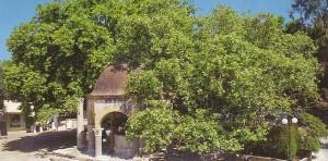 Baum des Hippokrates